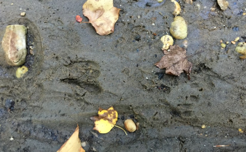 Follow The Raccoon Tracks